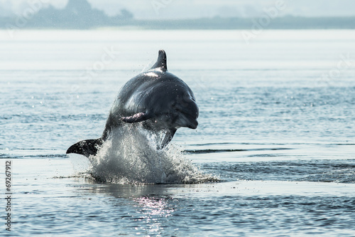 Foto op Canvas Dolfijn Bottlenose Dolphin (Tursiops truncatus)
