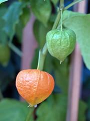 Green and orange chinese lantern (Physalis alkekengi)
