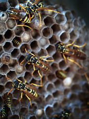 Colony of european paper wasp (Polistes dominula) on nest.
