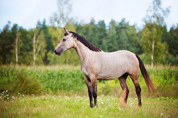 beautiful grey horse