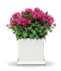 Red chrysanthemum in white pot