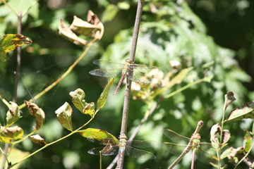 Dragonfly, Common Green Darner (Anax junius