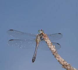 Blue headed dragonfly