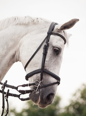 portrait of  white jumping horse