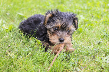 Yorkie Puppy Playing with a Stick