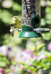 Female Goldfinch on Bird Feeder