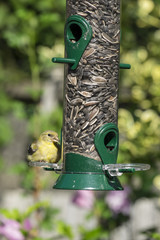 Female Goldfinch on Bird Feeder