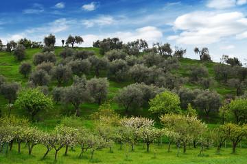 collina di ulivi in primavera