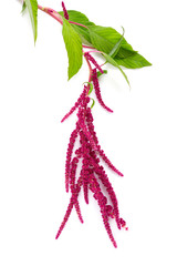 amaranth flower isolated on white
