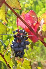 Uva alicante - Alicante black grapes