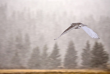 Snowy Owl in Alberta