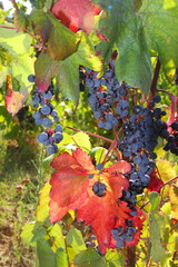 Uva alicante - Alicante black grapes