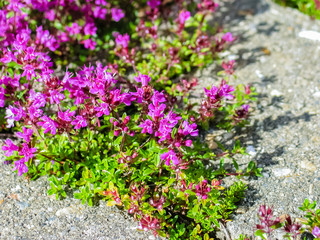 Creeping Thyme with purple flowers in garden.