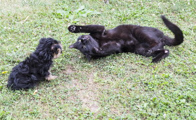 Black Cat Playing with a Yorkie Puppy