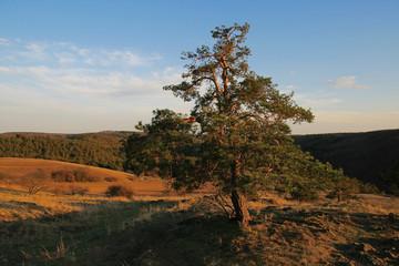 An evergreen tree in autumn landscape.