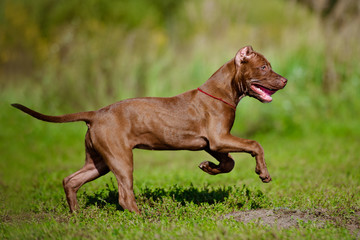 american pit bull terrier puppy running outdoors