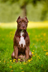 adorable pit bull terrier puppy
