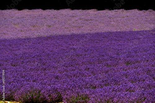 canvas print picture zweifarbiges Lavendelfeld in der Provence