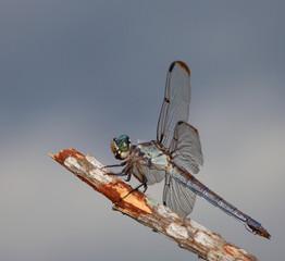 Patient dragfonfly