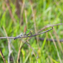 Green ambush