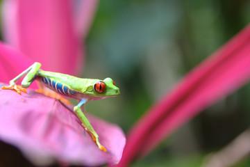 Rana verde della Costarica