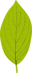 Green leaf of Roughleaf Dogwood on white