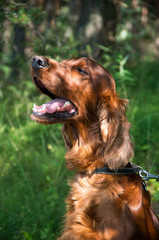 Portrait of an Irish setter. On a walk in the park.