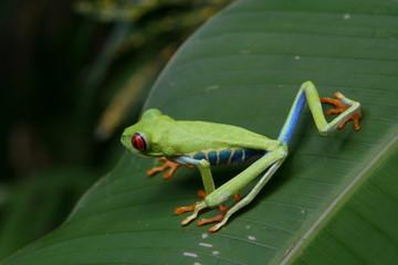 Rana occhi rossi dalla Costarica