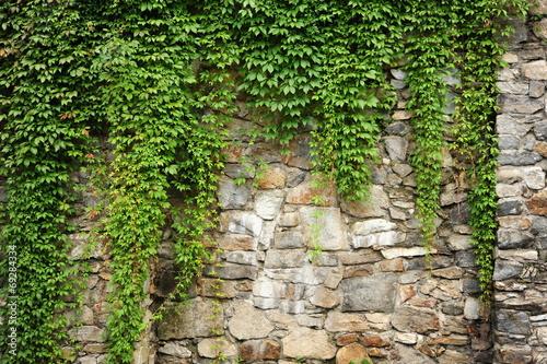 Green ivy - 69284334