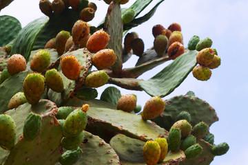 opuntia ficus-indica (prickly pear) plant