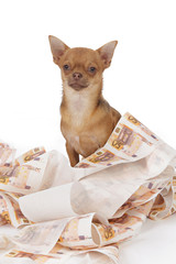 chihuahua brun dans papier WC argent