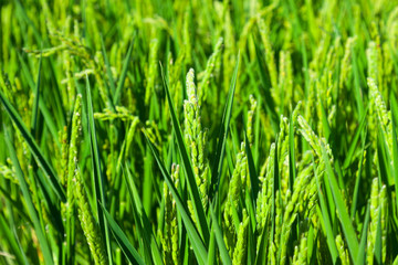 Closeup  of green ears of rice