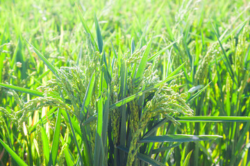 ears of rice at field in sunny day