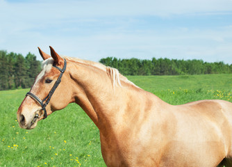 palomino hack horse in the spring field