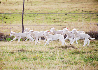 eight suffolk lambs running through a fiel