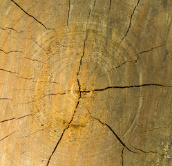 Transverse section of tree trunk