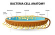 Bacteria cell anatomy - 69287784