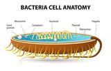 Bacteria cell anatomy