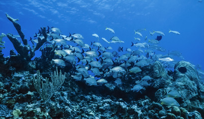 Caribbean Sea, Belize, U.W. photo, Soldierfish school