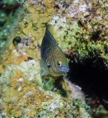 Caribbean Sea, Belize, small tropical fish on soft corals