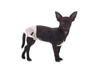 chihuahua femelle avec culotte