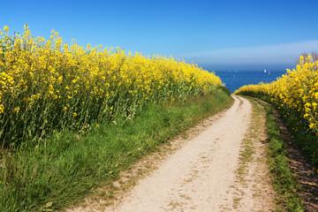 Feldweg durch Rapsfelder in Schleswig-Holstein an der Ostsee