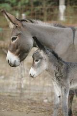 Donkey family