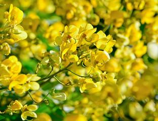 closeup of  yellow  flowers  on tree (Senna siamea Lam)