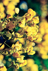 closeup of  yellow  flowers  on tree (Senna siamea Lam) with vin