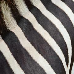 Common Zebra skin