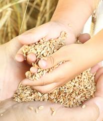 Farmer holding wheat grain.