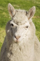 Close up of lama laying on the grass, Arequipa, Peru