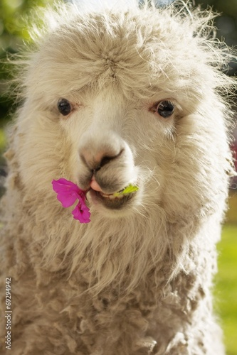 Foto op Aluminium Lama White lama chewing lila flower, Arequipa, Peru