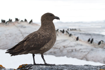 Antarctic or brown skua which stands on a rock on a background o